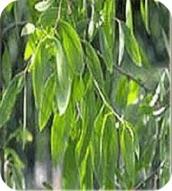 Huile essentielle d'eucalyptus radiata Bio (ou radié)