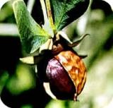 Huile végétale de noix de macadamia bio - 100 ml