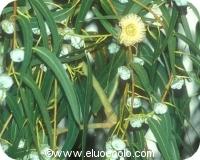 Huile essentielle d'eucalyptus globulus bio 10ml