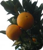 Huile essentielle d'orange douce bio