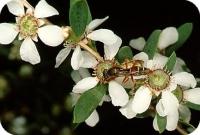 Huile essentielle de tea tree feuille (arbre à thé) bio