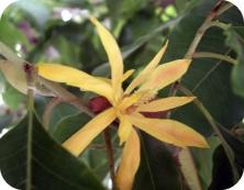 Huile essentielle d'ylang ylang 3ème fleur bio 10ml